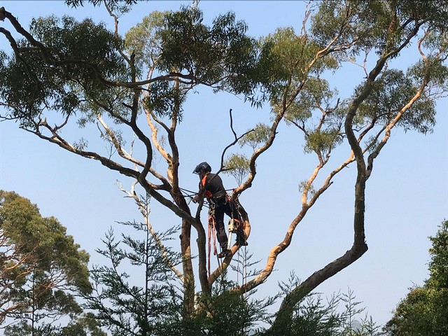 Professional Arborist NSW tree removal